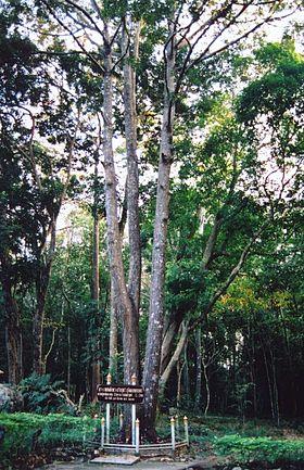 Hình ảnh minh họa cho: Cây gỗ cà chít