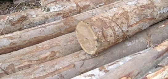 gỗ dổi là gỗ gì