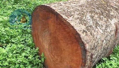 Gỗ sao xanh là gỗ gì?