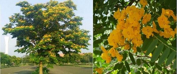 Hình ảnh cây giáng hương