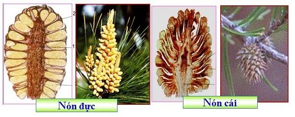 Cây thông có hoa không? Cây thông sinh sản bằng các lá noãn hở, không có hoa và quả