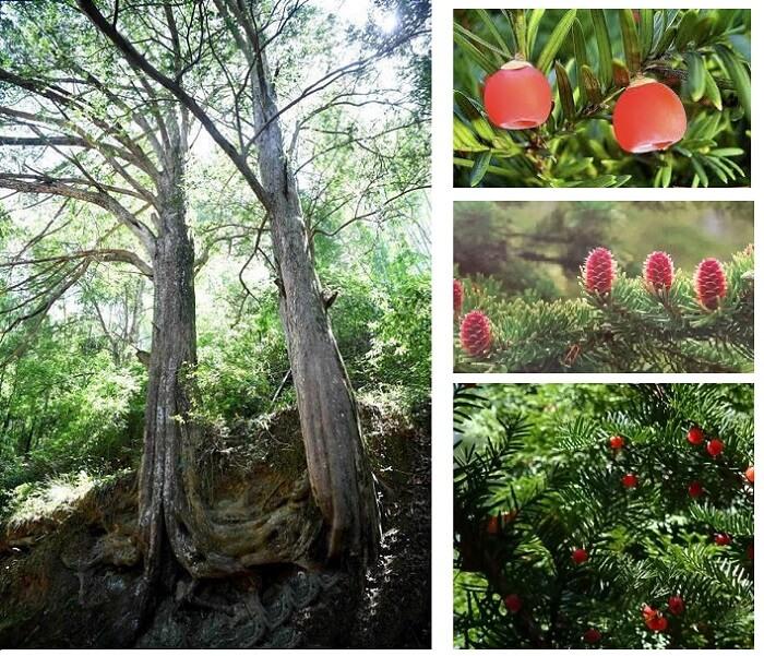 Hình ảnh cây thông đỏ và lá cây thông đỏ