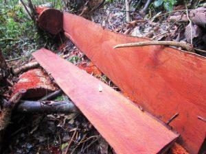 【Tư vấn】Gỗ gội là gì và gỗ gội có tốt không?