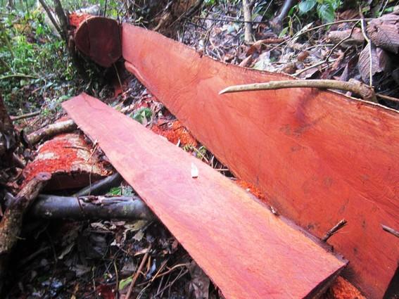Hình ảnh gỗ gội đỏ
