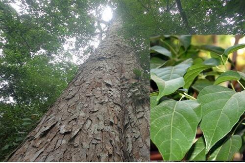 Cây gỗ nghiến
