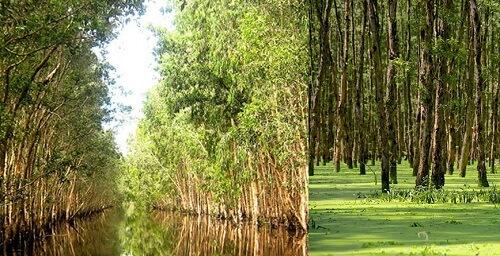 Ván gỗ tràm được yêu thích vì chắc chắn, bền bỉ nhưng giá thành lại hợp lý so với các loại gỗ khác.