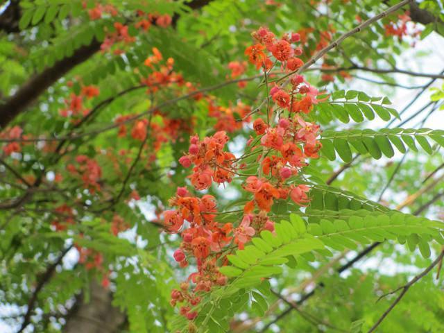 Cây gỗ muồng đỏ