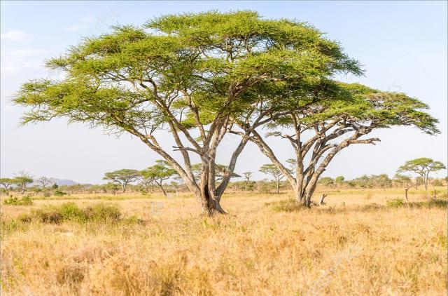 cây gỗ keo